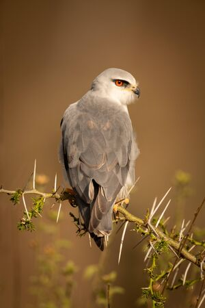 Black-shouldered kite perched in thorns with catchlight Stock Photo