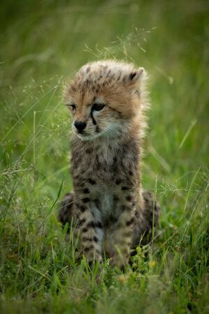 Cheetah cub sits in grass looking left Stock Photo