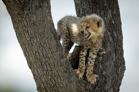 Cheetah cub stands in tree calling mother Stock Photo