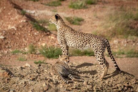 Cheetah cub lies next to standing mother