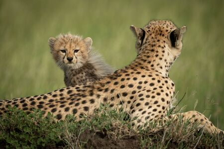 Cheetah cub sits behind mother on mound Stock Photo