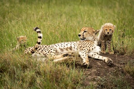 Cheetah and two cubs lie on mound Stock Photo