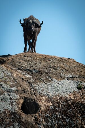 Cape buffalo stands on rock facing camera Stockfoto - 130071685