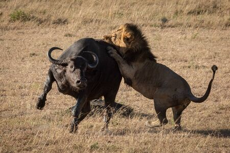 Cape buffalo tries to escape male lion