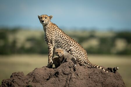 Cheetah and two cubs on termite mound Stock Photo