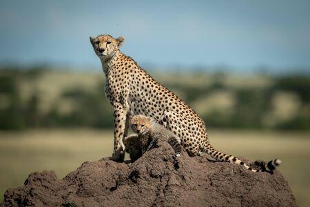 Ghepardo e due cuccioli sul termitaio