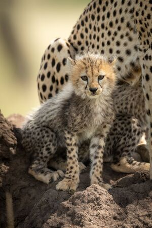 Cheetah cub sits on mound watching camera