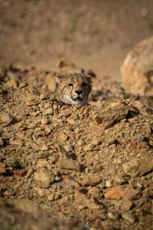 Cheetah cub pokes head over rocky mound