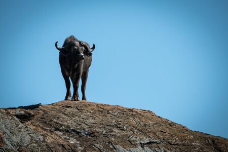 Cape buffalo stands on rock turning head