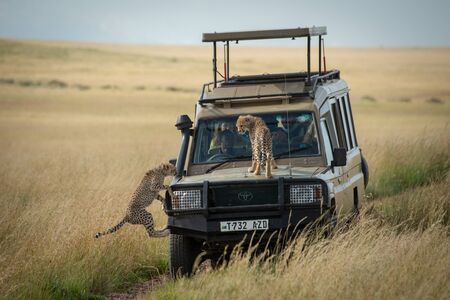 Cheetah cub watches another jump on truck