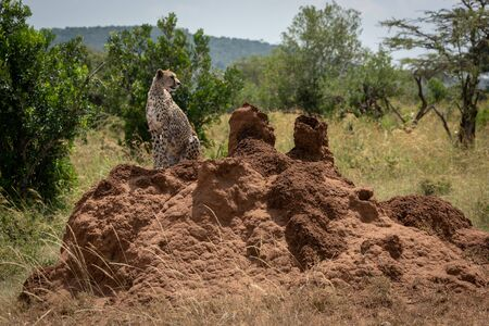 Cheetah looks round sitting on termite mound