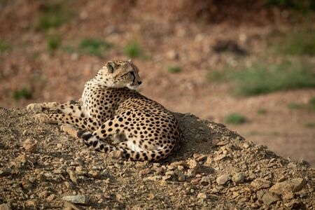 Cheetah lies on rocky mound looking back