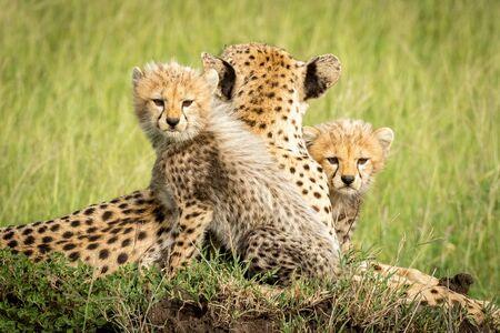 Cheetah cubs lie on mound beside mother Standard-Bild