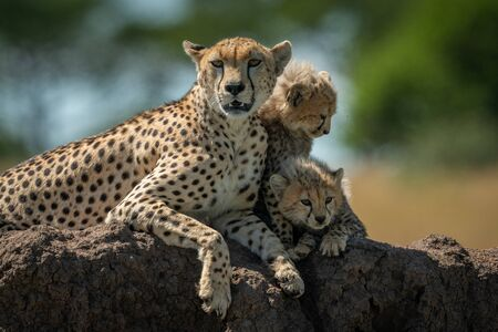 Cheetah lies with cubs on termite mound
