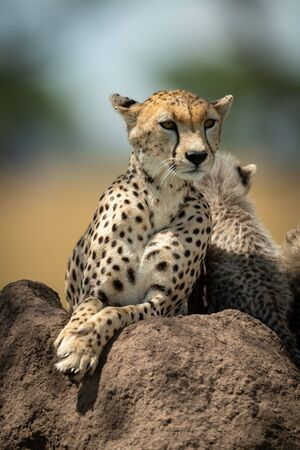 Cheetah lies on termite mound beside cubs