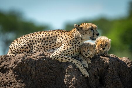 Cheetah lying on mound with sleepy cubs