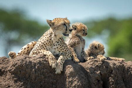 Cheetah lies on mound with two cubs