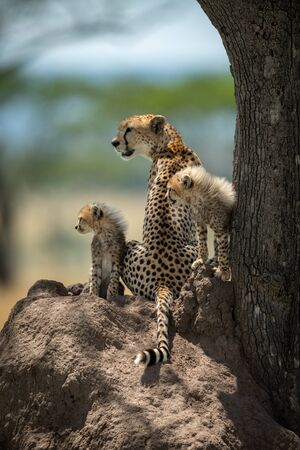 Cheetah cubs sit on mound by mother