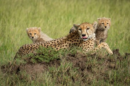 Cheetah lies licking nose with two cubs