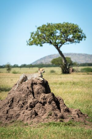 Cheetah lies on mound with tree behind