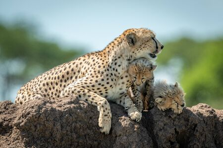 Cheetah lies on termite mound with cubs