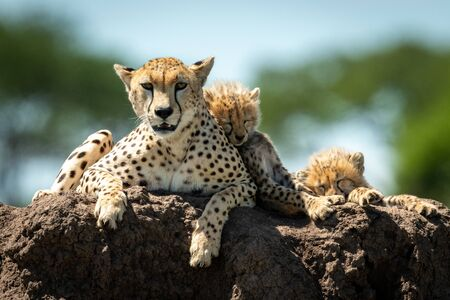 Cheetah lies on mound with sleeping cubs Stock Photo