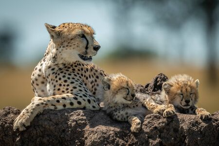 Cheetah lies with sleepy cubs on mound
