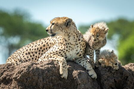 Cheetah lies beside two cubs on mound Stock Photo