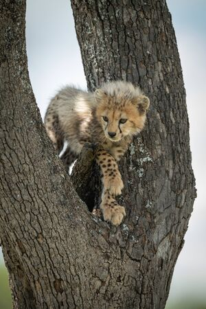 Cheetah cub stands looking down from tree Stock Photo