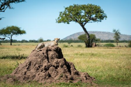 Cheetah lies on termite mound watching camera