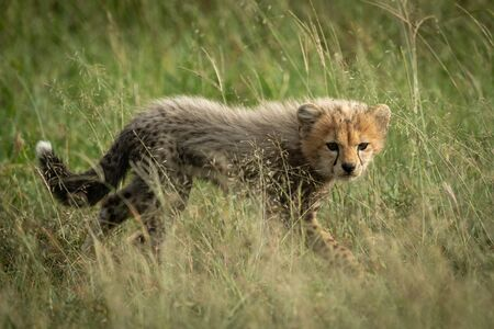 Cheetah cub walks through grass watching camera