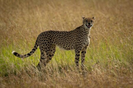 Cheetah stands calling cubs in long grass