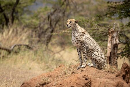 Cheetah sits on termite mound by acacias