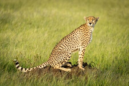 Cheetah sits in sunshine on termite mound