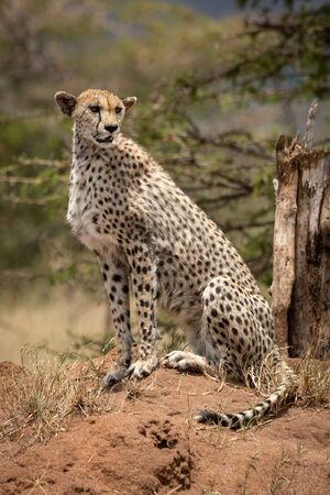 Cheetah sits in sun on termite mound