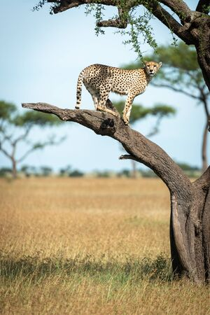 Cheetah stands on bare branch watching camera