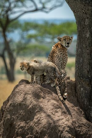 Cheetah sits by cubs on termite mound