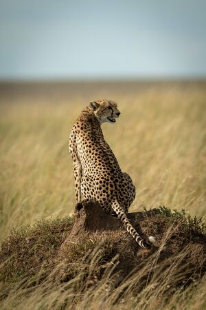 Cheetah sits on termite mound turning right Stock Photo
