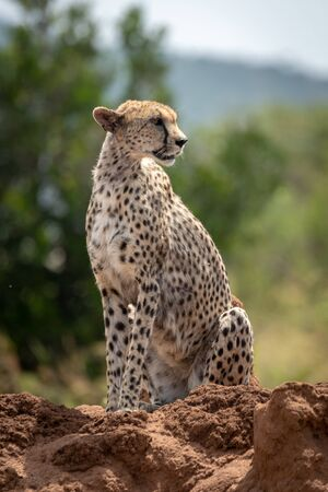 Cheetah sits on termite mound turning head Stock Photo