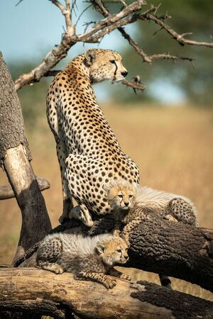 Cheetah sits on dead branches by two cubs