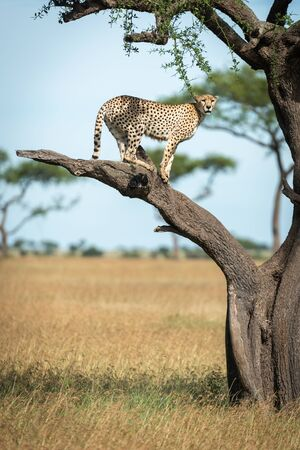 Cheetah stands on bare branch looking down
