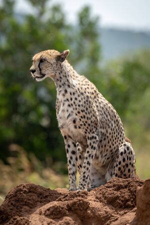 Cheetah sits on termite mound looking left