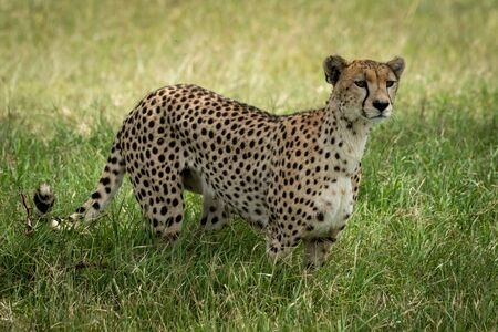 Cheetah stands in tall grass facing right
