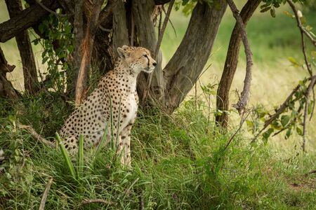 Cheetah sits under shady tree facing right