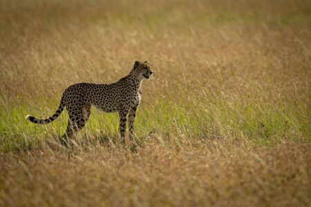 Cheetah standing in long grass in profile