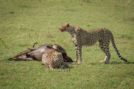 Cheetah stands guarding wildebeest as another feeds Stock Photo
