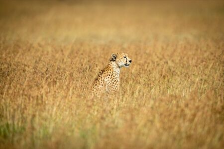 Cheetah sits in middle of long grass