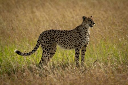 Cheetah stands in long grass in profile