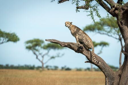 Cheetah sits on bare branch in profile