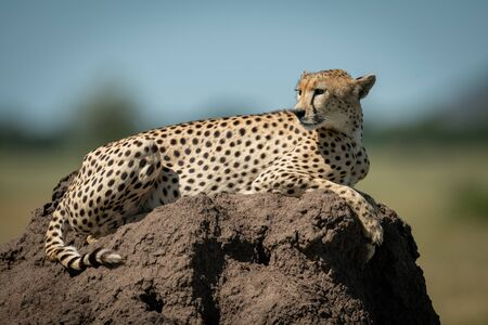 Cheetah rests on termite mound turning head